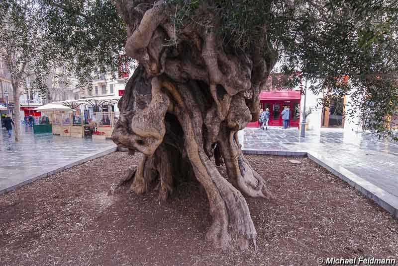 olivenbaum in palma de mallorca. Black Bedroom Furniture Sets. Home Design Ideas